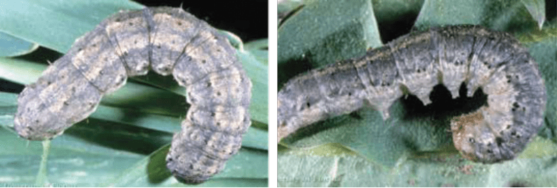 Management of Cutworm (Agrotis segetum)